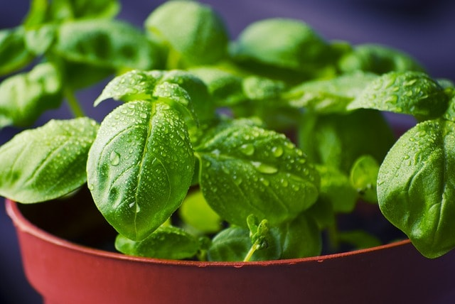 How to Make Your Own Indoor Herb Garden Basil